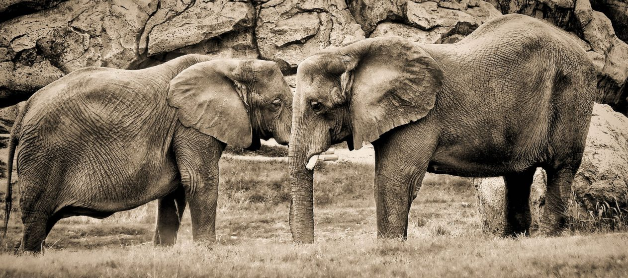 Irrelephant: The Misleading Connections between Terrorism and Ivory Poaching